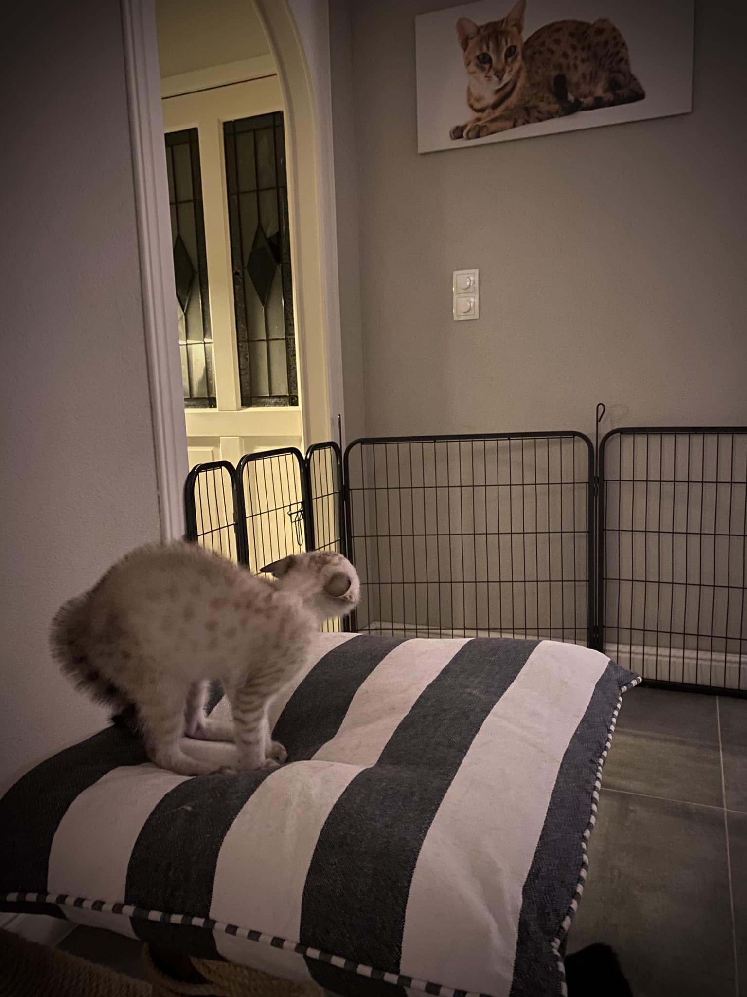 Savannha kitten