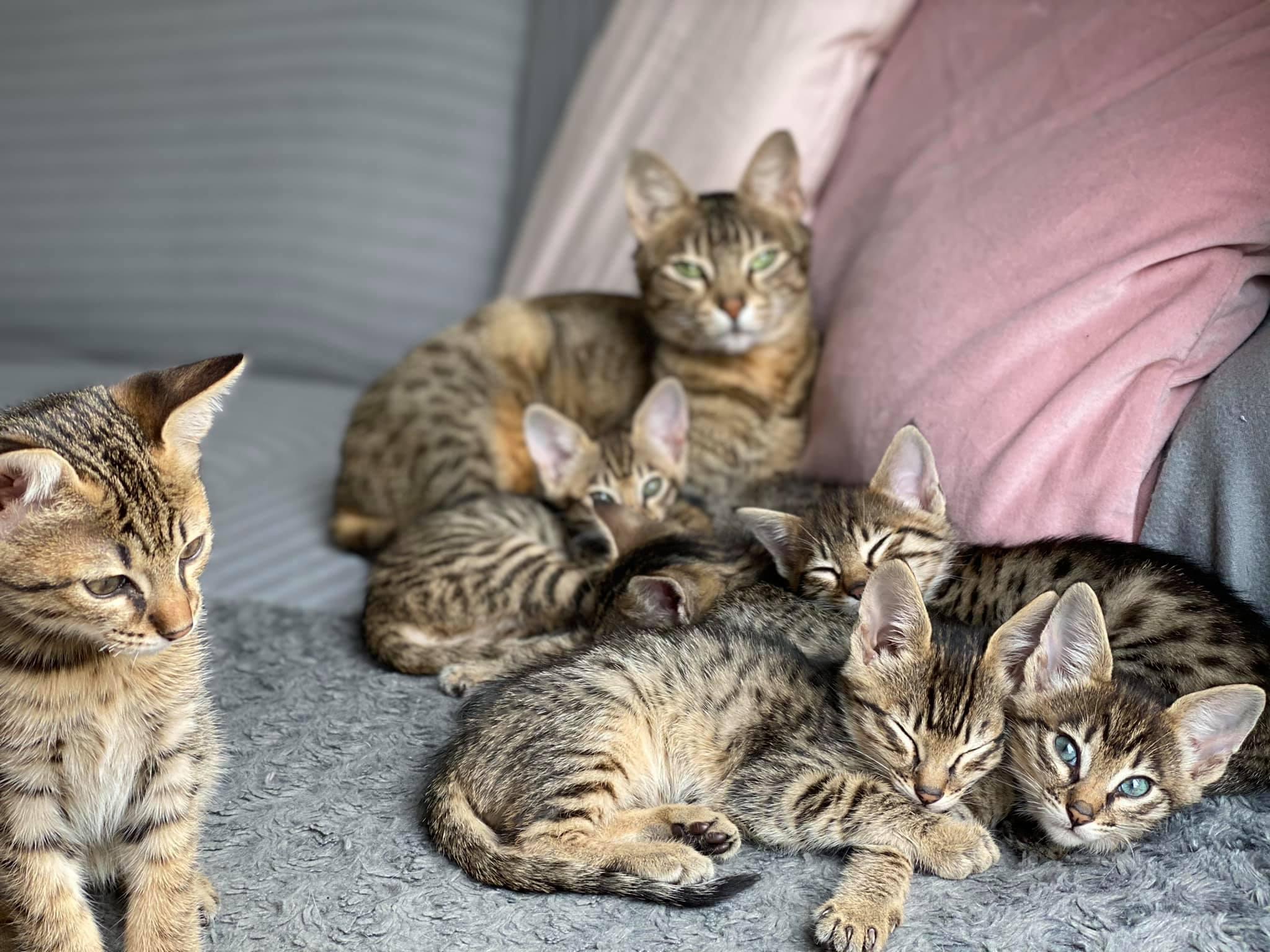 Savannah kittens