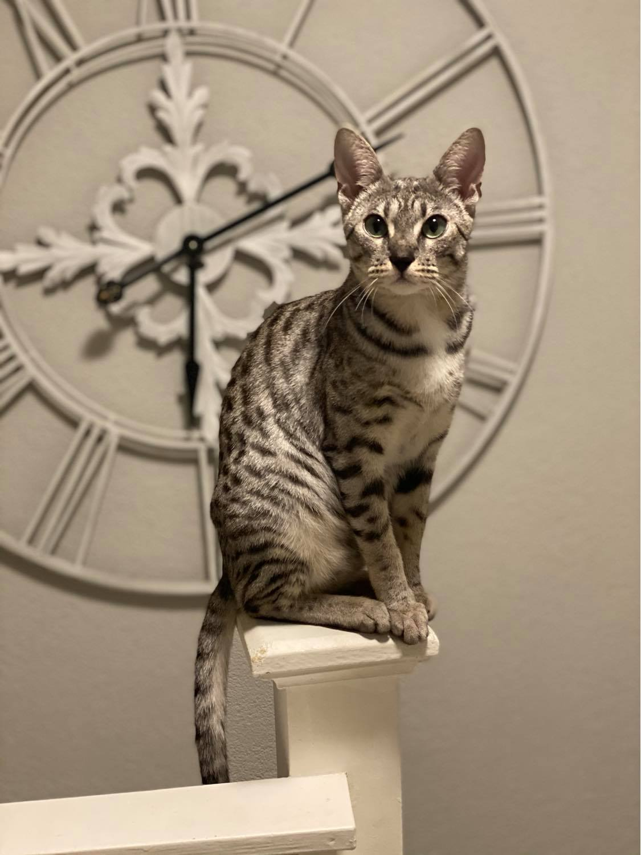 Cattery Savannah