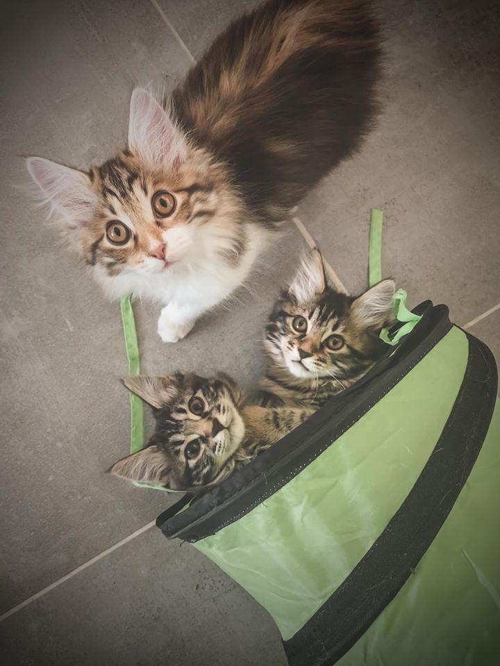 Kurilian bobtail kittens