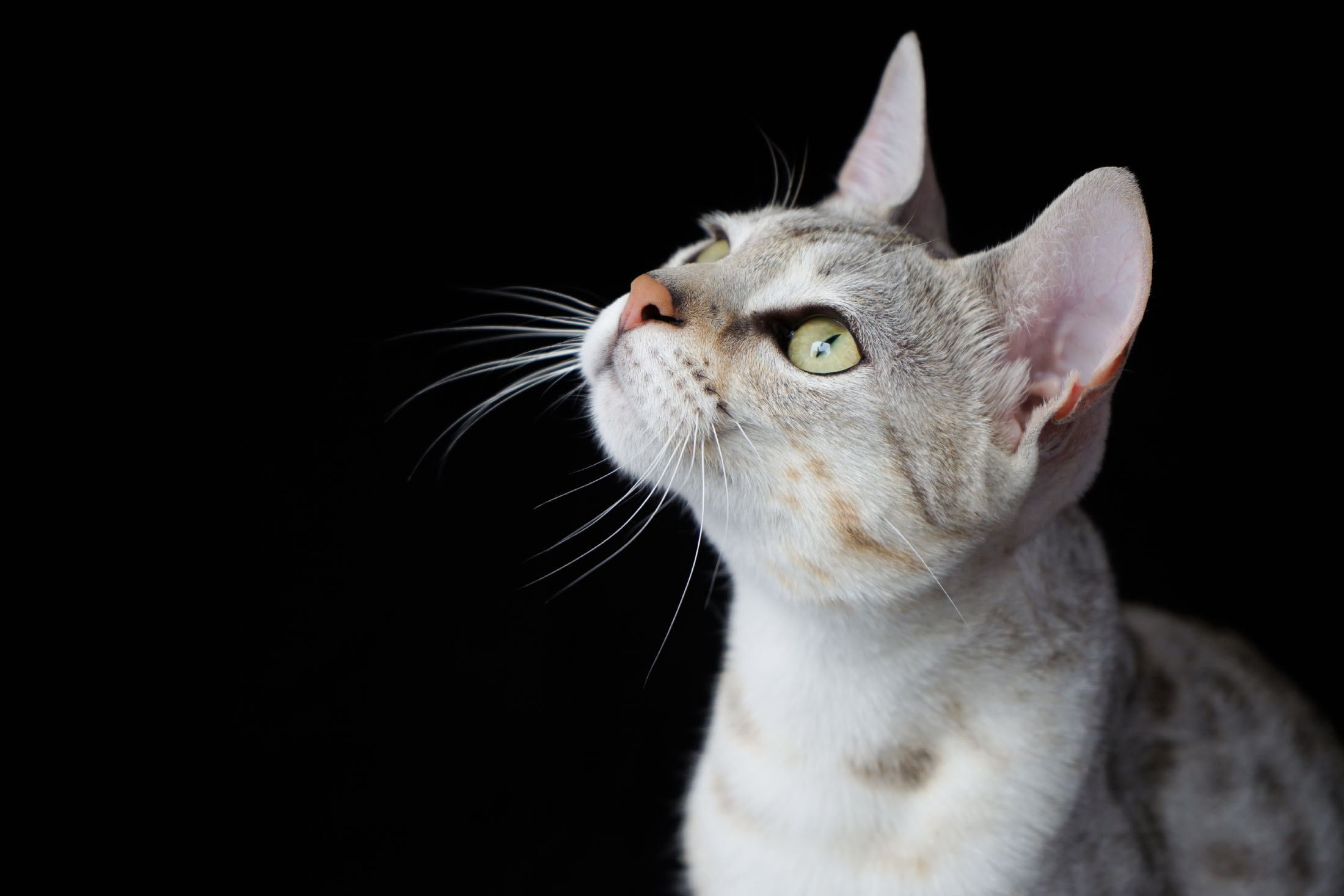 Savannah kat