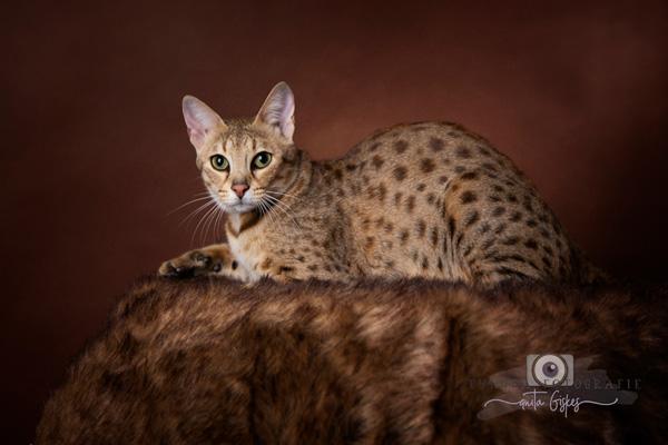 Savannah cats