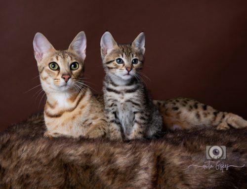 Savannah kittens verwacht