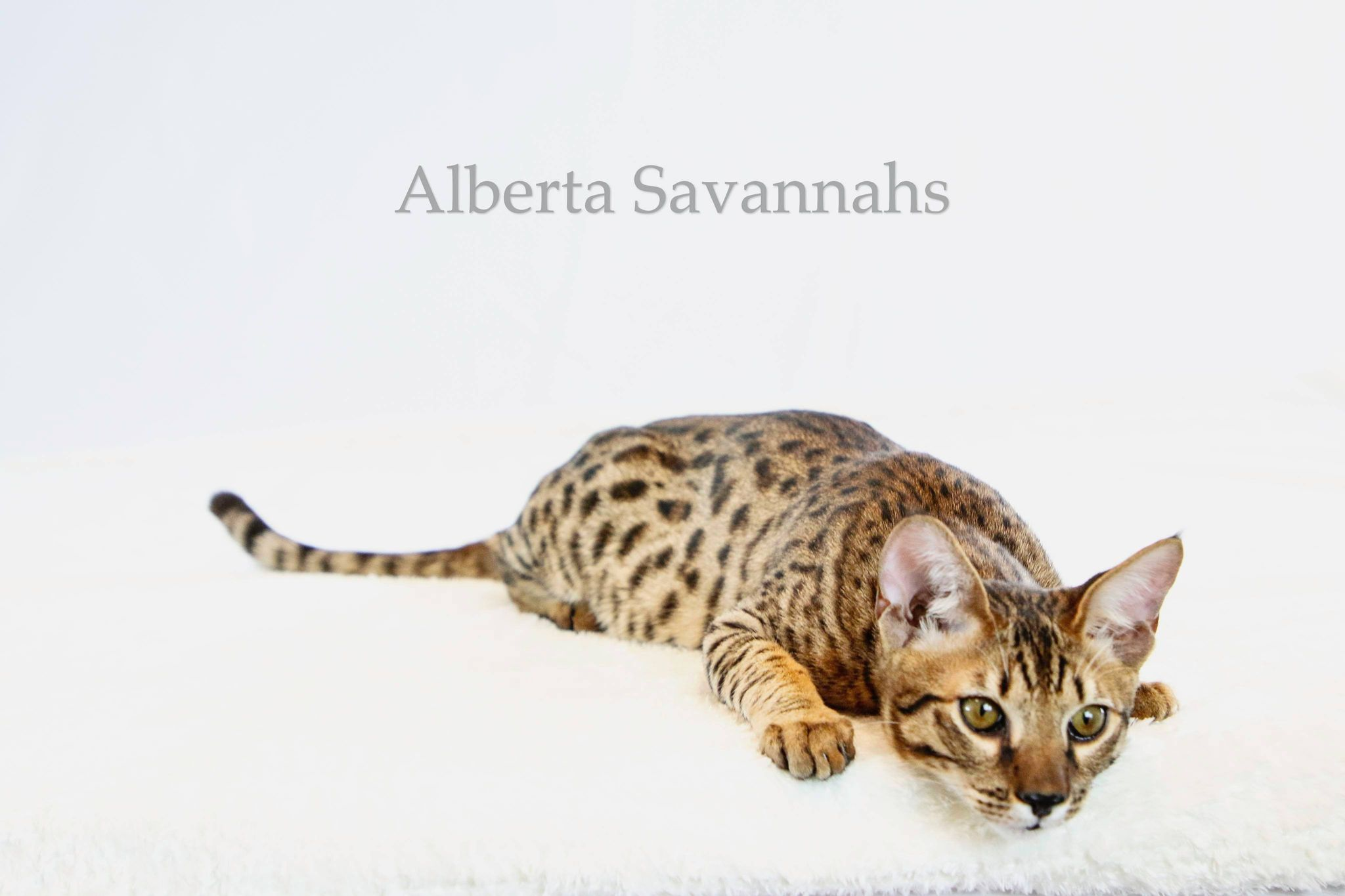 Alberta Savannah