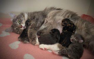 Kurilian Boibtail kittens