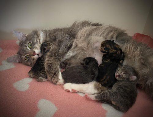 Ons 2de nestje Kurilian Bobtail kittens is geboren!